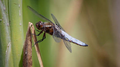 Broad bodied chaser (male)