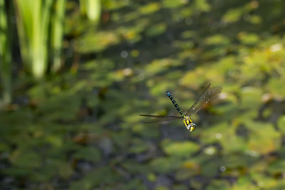 Southern Hawker on patrol (Parc Slip).