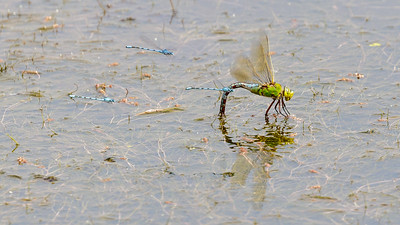 Emporer dragonfly (female)