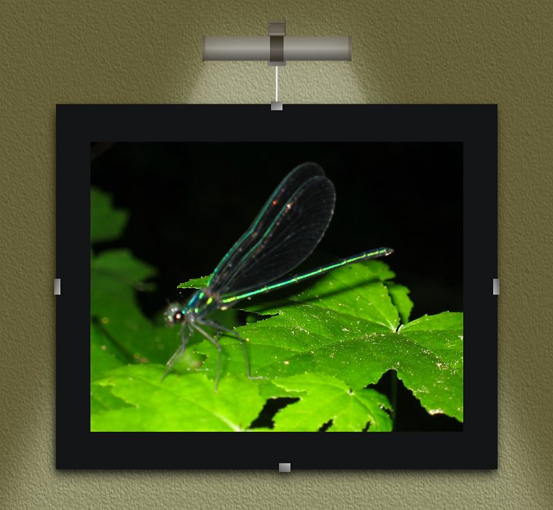 00aFavorite Dragonfly - Ebony Jewelwing adult male - in my backyard 2 [lighted mount frame]