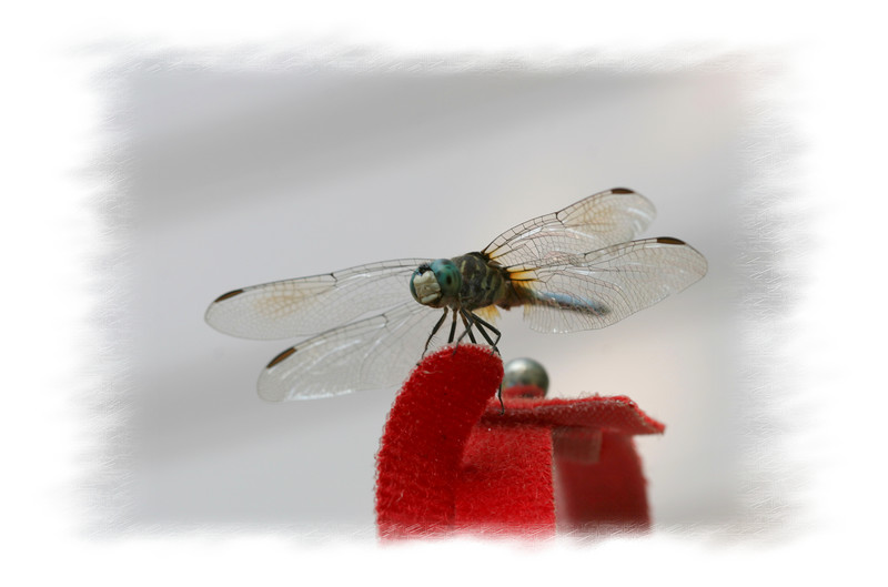 00aFavorite 20070626 Dragonfly (Durham, NC) 2 [edgefade02 frame]