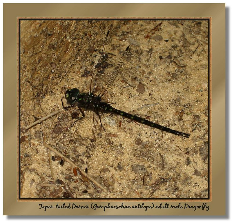 Dragonfly - Taper-tailed Darner adult male - in my side yard [borders, text, drop shadow]