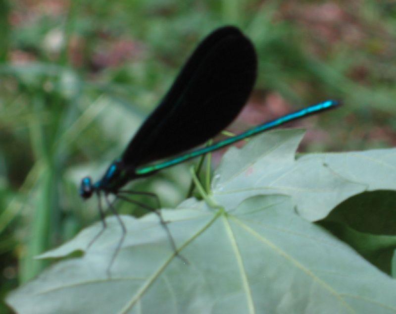 Dragonfly - Ebony Jewelwing adult male - in my backyard 4 [blurry]