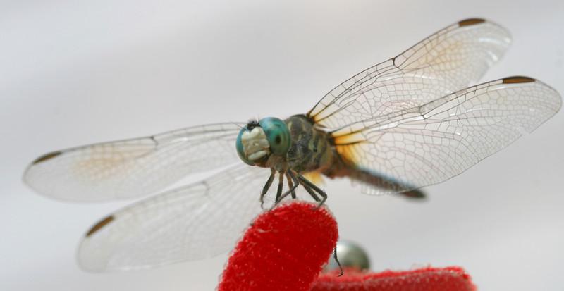 00aFavorite 20070626 Dragonfly (Durham, NC)