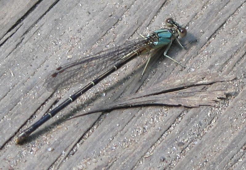 00aFavorite Dragonfly near James River, Richmond, VA cl