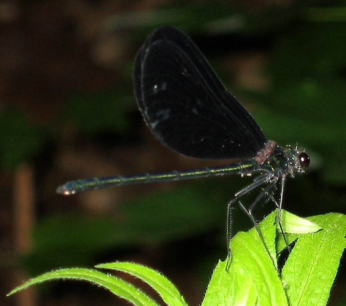 Dragonfly - Ebony Jewelwing adult male - in my backyard 3