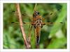 Three Sisters Bugs
