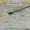 Not sure at all what this is -- best guess is a female Pacific Forktail (gynomorphic). Monterey, CA 8-7-08.