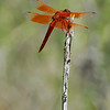 I'm going with Flame Skimmer for this one -- Calistoga, CA 8-1-08. (Note all the IDs in this set from Calistoga were found at the Old Faithful Geyser.