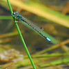 Male Western Forktail, Calistoga, CA 8-1-08.