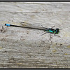 Pacific Forktail, Monterey, CA 8-7-08.