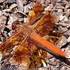Flame Skimmer, Santa Rosa, CA 8-1-08