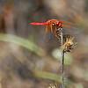 Male Cardinal Meadowhawk, Pt. Reyes, CA. 7-31-08.