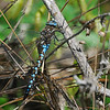 Common Blue Darner, Pt. Reyes Station, May 2008.