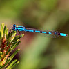 Captured this one at a pond in the Rockies -- Estes Park, Co. July 2007. Looks like a Bluet.
