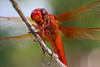 """""""Dragonfly Macro""""  cropped"""