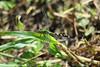 Eastern Pondhawk female