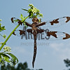 Twelve-spotted Skimmer (Libellula pulchella)  - female