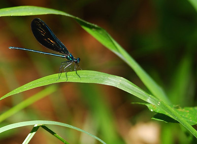 Blue Damselfly photographed in Huntsville State Park, TX