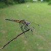 A Blue Dasher Dragonfly (Pachydiplax longipennis)