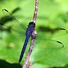 Slaty Skimmer - Greenbrook Sanctuary, NJ - July 2008