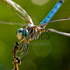 Blue Dasher (Pachydiplax longipennis) male<br /> Raleigh, North Carolina, USA
