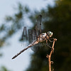 Blue Dasher (Pachydiplax longipennis)<br /> Raleigh, North Carolina, USA