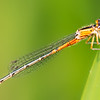 Eastern forktail, Immature female. The grayish-blue color develops with age - NY Botanical Garden, June 2019