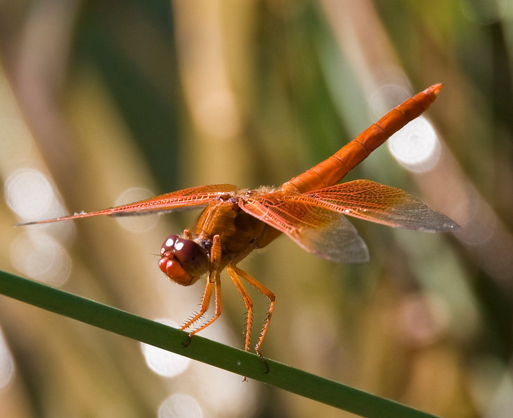 Flame Skimmer.  Kearny Lake, AZ;  11 Aug 08