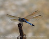 Blue Dasher, male, Arabia Mt, GA copy