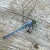 This is a male Eastern Pondhawk  (Erythemis simplicicollis).
