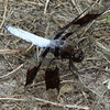 This is a Common White Tail Dragonfly (Plathemis lydia). This one is a male.