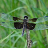 Widow Skimmer Dragonfly   (Libellula luctuosa)