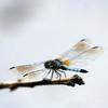 Blue Dasher Dragonfly - Greenbrook Sanctuary, NJ - June 2008