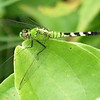 Eastern Pondhawk Dragonfly  (Erythemis simplicicollis)