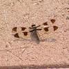 Common White Tail (Plathemis lydia)