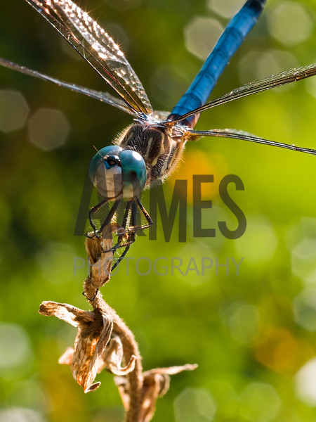 Blue Dasher (Pachydiplax longipennis) male
