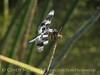 8-spotted skimmer, Bear River NWR UT (13)