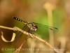 Blue Dasher female, FL (4)