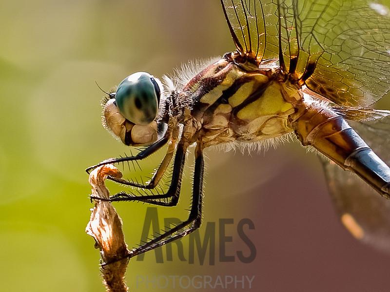 Blue Dasher (Pachydiplax longipennis) male<br /> Raleigh, North Carolina, USA