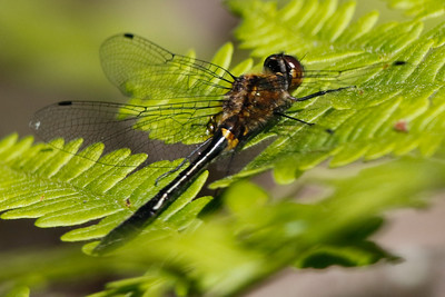 Racket-tailed Emerald Wood County wildlife area June 6, 2015