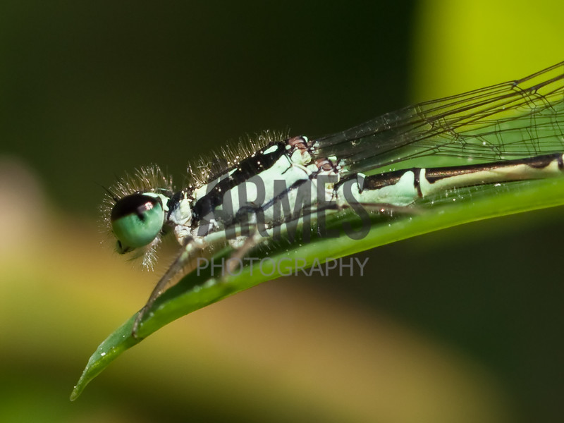 Fragile Forktail Damselfly (Ischnura posita) - male<br /> Raleigh, North Carolina, USA