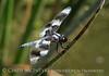 8-spotted skimmer, Bear River NWR UT (1)