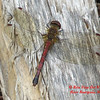 6.  Skimmer Family - Meadowhawk species