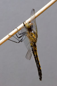 Macro images of adult and nymphal stages of dragonflies from the Pacific Northwest.