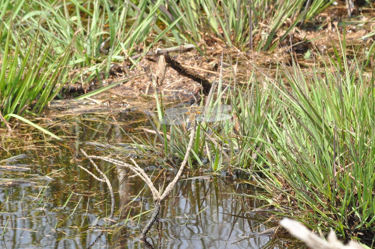 Dragonfly, Canvey Heath 2012