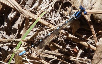 P106ArgiaSedula340 Oct. 1, 2011  10:25 a.m.  P1060340 Argia sedula, Blue-ringed Dancer, at Hornsby Bend insect class.  Coenagrionid.