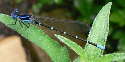 P102DMArgiaSedula-m-171 July 27, 2007.  2:56 p.m.    P1020171 Argia sedula, Blue-ringed Dancer, male at 2601.  Coenagrionid.