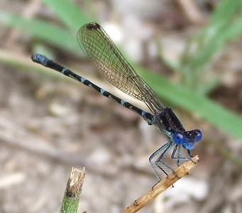 P135ArgiaSedula334 Apr. 27, 2014  9:52 a.m.  P1350334 This bright little Argia sedula, the Blue-ringed Dancer, was in Gonzales Co. when Melissa and I visited.  Coenagrionid.