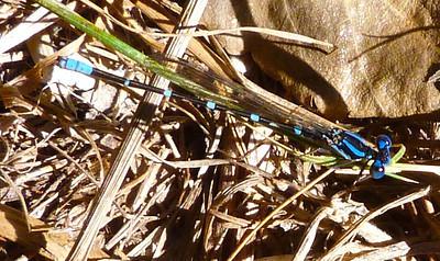 P106ArgiaSedula350 Oct. 1, 2011  10:26 a.m.  P1060350 Argia sedula, Blue-ringed Dancer, at Hornsby Bend insect class.  Coenagrionid.